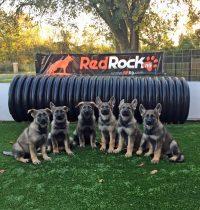 trained-red-rock-k9-german-shepherd-puppies