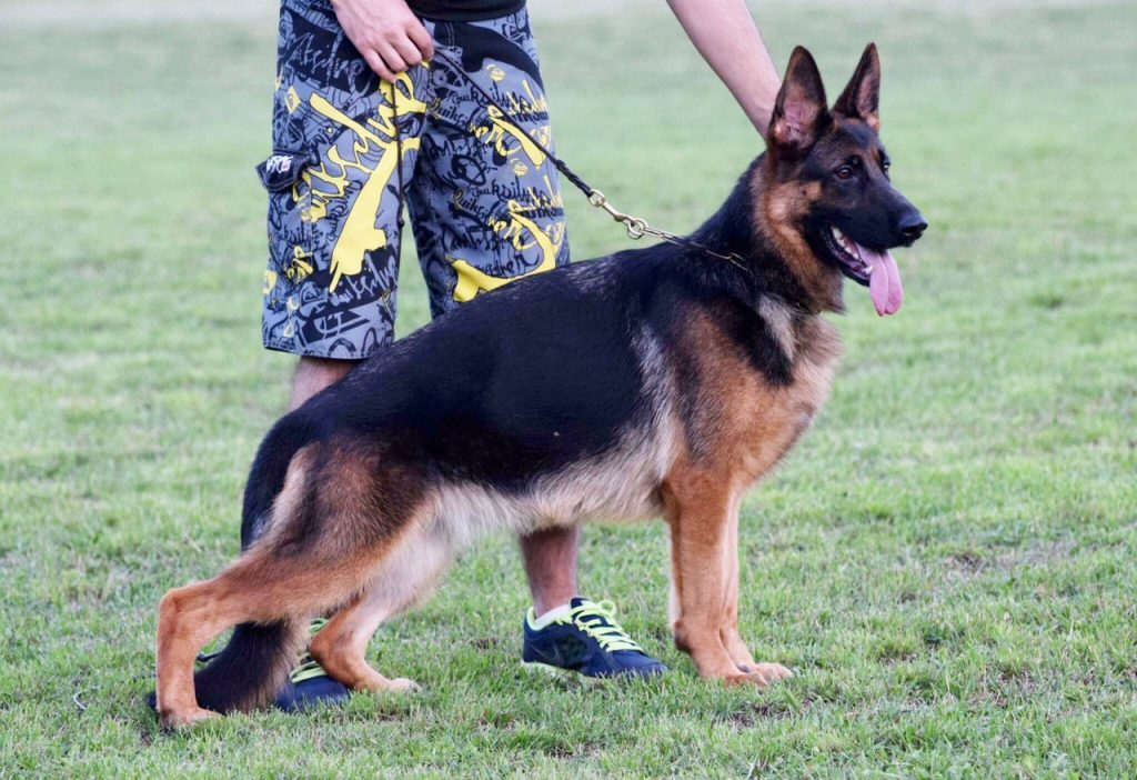 Protection Trained German Shepherds for Sale - Red Rock K9